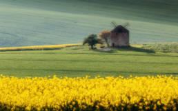 Wiatrak na Morawach wśród pól rzepaku na pierwszym planie